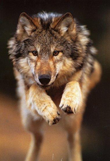 profil wei er wolf bw der wei e wolf im tal der w lfe. Black Bedroom Furniture Sets. Home Design Ideas